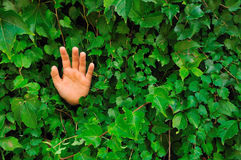 Hand in Ivy-covered wall. Hand popping out from a ivy-covered wall Stock Photo