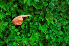 Hand in Ivy-covered wall. Finger pointing right of an hand popping out from a ivy-covered wall Royalty Free Stock Image