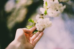 Hand keeps white flowers in spring stock photo