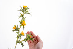 Hand in Kontakt mit Blumen Lizenzfreie Stockfotos