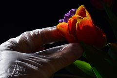 Hand in latex sterile glove picking fresh wet orange tulip from colorful tulip bouquet, black background Royalty Free Stock Images
