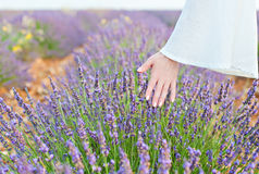 Hand and lavender Royalty Free Stock Photo
