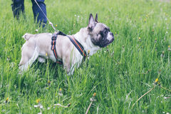Hand with leash lead french bulldog Royalty Free Stock Photography