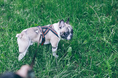 Hand with leash lead french bulldog Royalty Free Stock Images