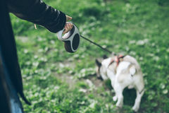 Hand with leash lead french bulldog Royalty Free Stock Photo