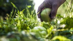 A hand lifts green apple from a ground. Work in orchard during apples harvest royalty free stock photography