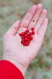 Hand with lingonberries Royalty Free Stock Image