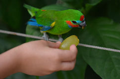 Hand of a little child feeds a Fig Parrot Stock Photos