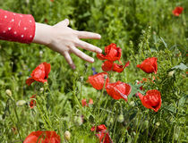 Hand of little girl and red poppy Royalty Free Stock Photo