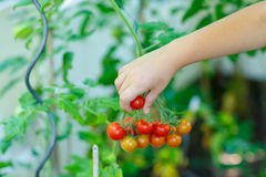 Hand of little kid picking tomatoes in greenhouse Royalty Free Stock Images