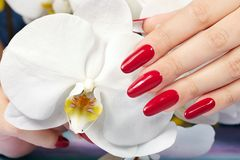 Hand with long artificial manicured nails and orchid flower. Hand with long artificial manicured nails colored with red nail polish and white orchid flower Royalty Free Stock Images