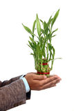 Hand with A lucky bamboo plant Royalty Free Stock Photo