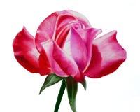 Hand målad olje- pastellros, härlig rosa länge stemmed rosa närbildillustration Royaltyfria Foton