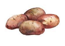 Hand målad vattenfärgillustration av potatisar Fotografering för Bildbyråer