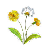 Hand made field flower dandelion. For design Stock Images