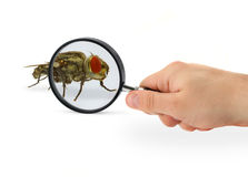 Hand magnifying fly Stock Photos