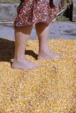 Hand maize processing after harvest Stock Image