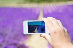 Hand making picure with mobile phone of lavender field. Hand of people making picure with mobile phone of beautiful blooming lavender fields near Valensole in Royalty Free Stock Photos