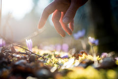 Hand of a man above a new delicate blue flowers in a shaft of su Royalty Free Stock Photography