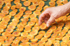Hand of man arrange plums  for drying. Hand of man arrange plums  cut in half for drying Royalty Free Stock Photography