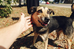 Hand of man caress little cute brown dog from shelter in belt po. Sing outside in sunny park, smiling, adoption concept Royalty Free Stock Image