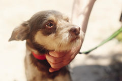 Hand of man caress little sad brown dog from shelter in belt pos. Ing outside in sunny park, adoption concept Stock Photos