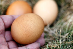 Hand of man and chicken egg in nest Royalty Free Stock Photography
