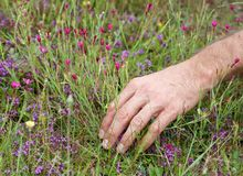 Hand of man collecting thymes on summer time, healthcare conceptual photo Royalty Free Stock Photo