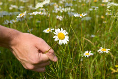 Hand of man and daisy Royalty Free Stock Images