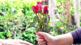 Hand of man giving a red rose to woman.Valentine's day gift concept stock video footage