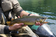 Hand of a man holding a brown trout (catch and release). Brown trout fishing in Patagonia, Chile royalty free stock photography