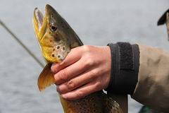 Hand of a man holding a brown trout. Brown trout fishing in Patagonia, Chile royalty free stock image