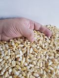 Hand of a man holding corn grains. Yellow edible seed, agriculture and harvest, world cereal production, ingredient for various recipes and vegetarian food royalty free stock photo