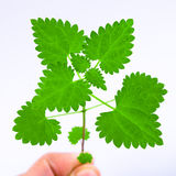 Hand man holding a fresh nettle leaves. Isolated over white background Royalty Free Stock Photo