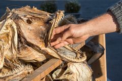 Hand of a man inside the mouth of a dried cod fish head. In Lofoten, Norway Stock Images