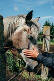 Hand of a man stroking horse. Close up of horse being patted by a man Royalty Free Stock Images
