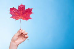Hand with maple leaf as symbol red dry skin. Royalty Free Stock Photo