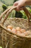 Hand med bascket av grön backsground för nya ägg royaltyfri foto