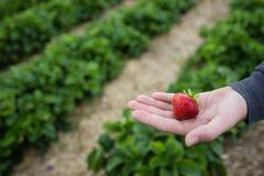Hand med den nytt valda jordgubben Arkivfoto