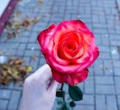 Hand med en ros arkivbild