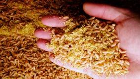 Hand med larver för en handfullvit en stor hög av avmaskar fiska drag stock video