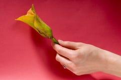 Hand med lilly Arkivfoton
