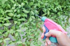 Hand med rosa dimmigt för att bevattna små gröna växter i hemträdgård Fotografering för Bildbyråer