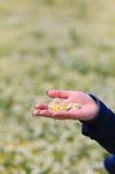Hand med tusenskönor på fältet med tusenskönor Fotografering för Bildbyråer