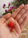 Hand met aardbeien Stock Afbeeldingen
