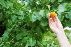 Hand met abrikoos Royalty-vrije Stock Fotografie