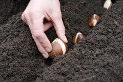 Hand met bol van tulp Stock Afbeeldingen