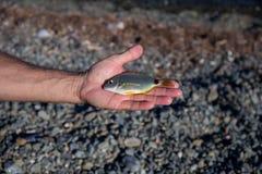Hand met kleine overzeese vissen Royalty-vrije Stock Afbeelding