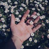 Hand met margrietbloemen in de tuin in de lente stock afbeelding