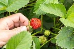 Hand met verse die aardbeien in de tuin worden verzameld stock fotografie